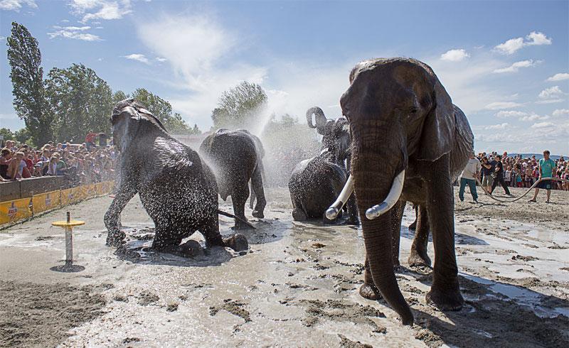 Idén is fürdőznek a Magyar Nemzeti Cirkusz elefántjai a Balatonon